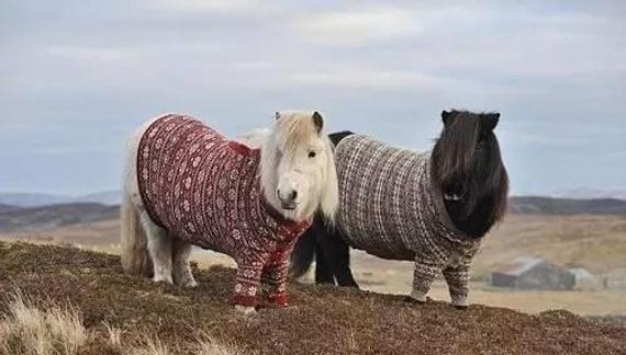 苏格兰设德兰小型马
