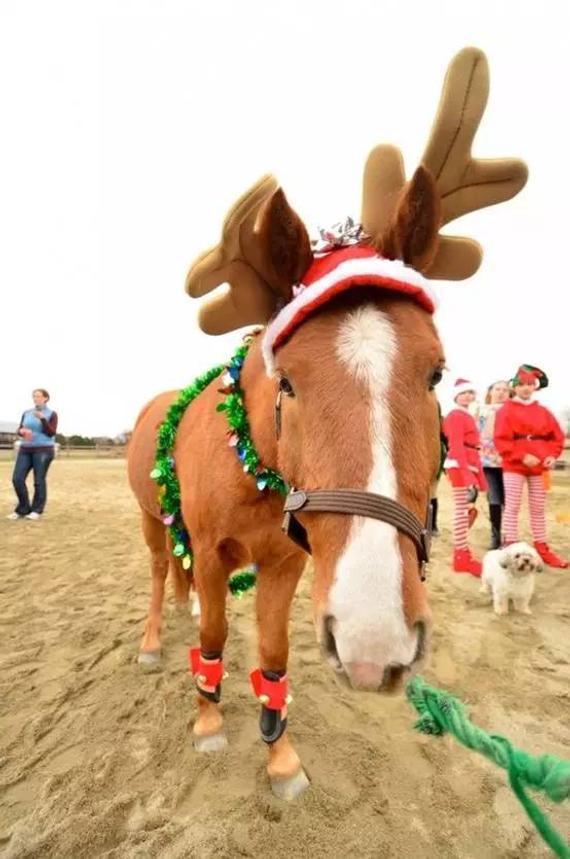 马儿如何过圣诞?可爱打扮添喜庆 温馨马房显氛围