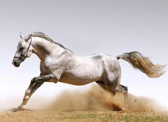 帅气的白色赛马