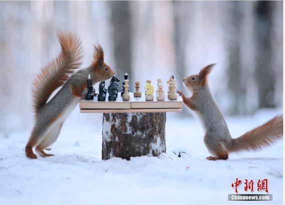 小松鼠雪中对弈
