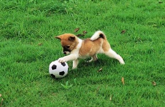 狗狗也爱足球