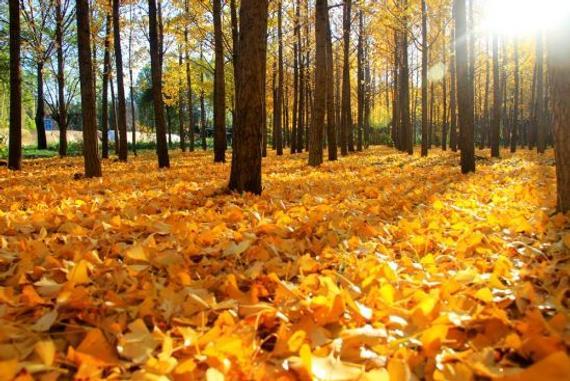 听说秋天欧洲树叶变黄美洲却变红,这是什么原因呢?
