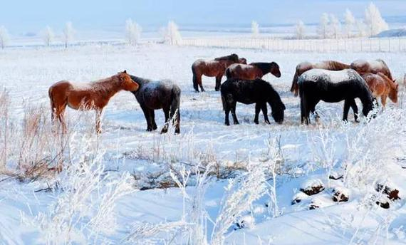 冬天来临马儿如何过冬?食物和清洁是重中之重