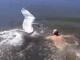 视频-野外游泳需注意安全 俄男子遭天鹅围攻潜泳脱险