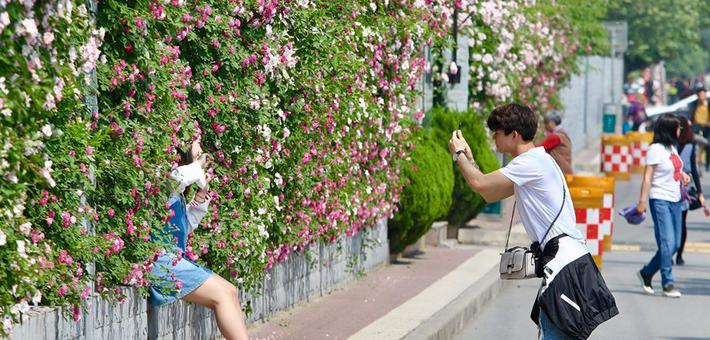 西安网红花墙 百米蔷薇正盛开