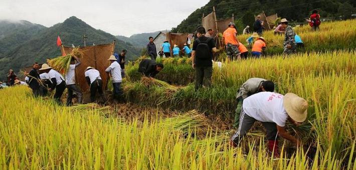 南宫山稻谷熟了 农民赛打谷庆丰收
