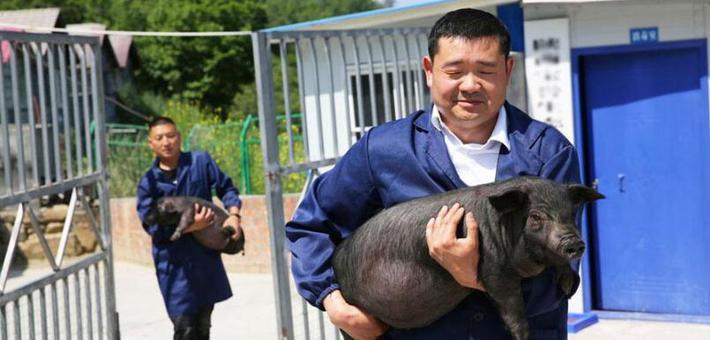 石泉42岁男子回大山养猪