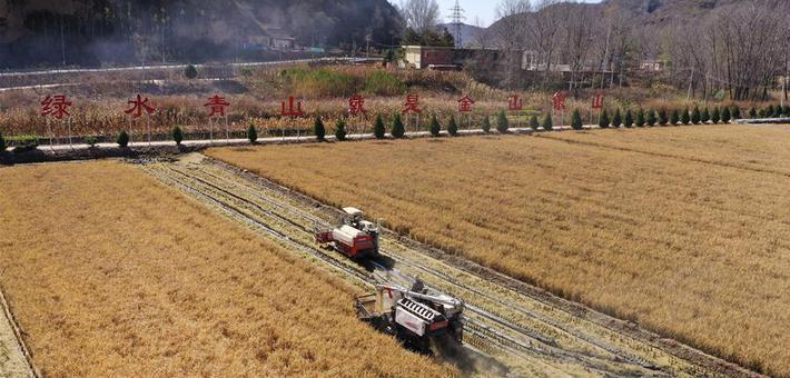 陕西延安千亩水稻喜获丰收
