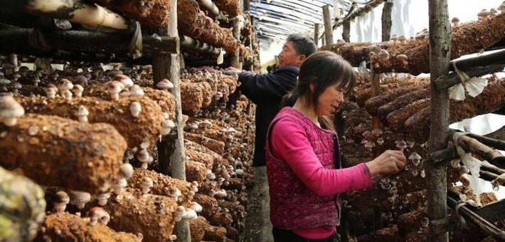 宁陕60后夫妻在深山种香菇
