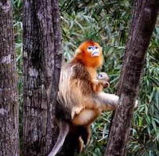 密林中的精灵——秦岭金丝猴