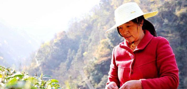 安康汉滨清明节前采茶忙