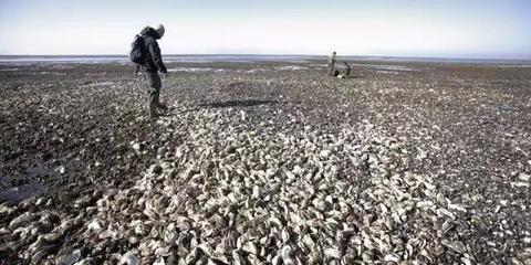 丹麦生蚝泛滥成灾