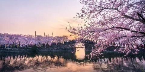 无锡鼋头渚樱花盛开