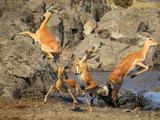 险象环生!4只黑斑羚孤注一跃鳄口逃