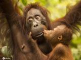 英国摄影师捕捉有爱一幕 小猩猩亲吻母亲