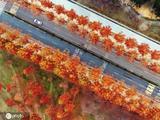 美如画卷!韩国初冬枫叶红似火
