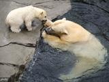 德国北极熊宝宝户外探险 和母亲嬉戏游泳萌萌哒
