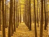 秋日收敛的美:银杏金黄色熠熠生辉