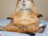 行走的表情:憨胖呆萌土拨鼠不折不扣表情货小吃包虎胖暴漫图片