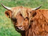 热懵了?英国高地牛一脸无辜,树荫下散