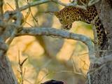 神奇!印度摄影师捕捉超罕见黑豹花豹