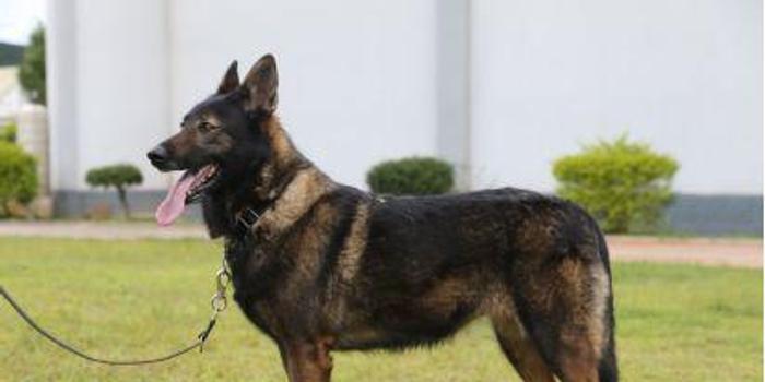 """中国首次克隆警犬界的""""福尔摩斯"""":""""昆勋"""""""