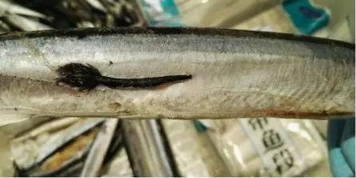 一招教你識別超市秋刀魚是否感染寄生蟲