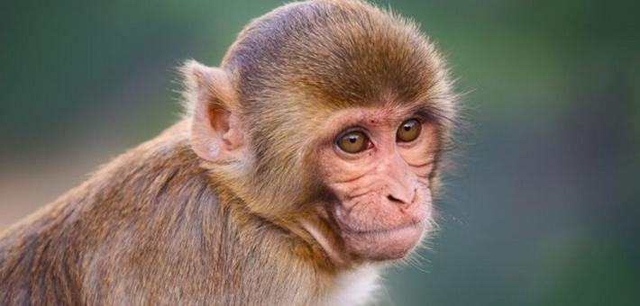 美研究者用恒河猴干细胞成功培育精细胞