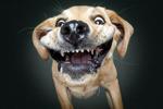 摄影师捕捉狗狗接食表情包 龇牙咧嘴蠢萌搞笑图片
