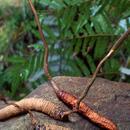 揭秘冬虫夏草益生机制:或可用于治疗肥胖和2型糖尿病