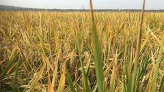 张启发谈绿色超等稻十年:共推行九切切亩 不含转基因