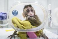 首批体细胞克隆疾病模型猴中国诞生 价值不可估量