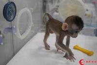 中中华华有了小伙伴!世界首批疾病克隆猴诞生在中国