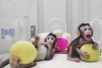 克隆猴有啥价值?人类疾病研究、新药测试将大幅提速