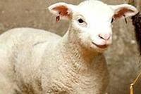 科学家称人类可能已在食用克隆肉 无法与传统培育动物区别