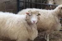 克隆动物能以正常方式老去吗?年轻克隆羊患老年病早衰