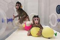 中国弯道超车 率先开启猕猴作为实验动物模型时代