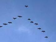 捉谣记|广州飞机停飞为北回南飞的大雁让路?媒体辟谣