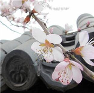 春色洋溢 天津桃花主题游
