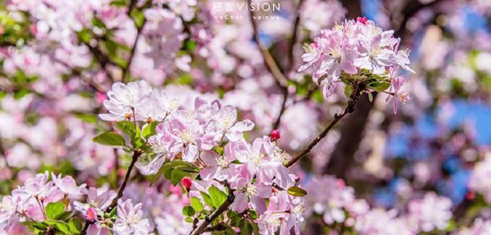 大理道的海棠季