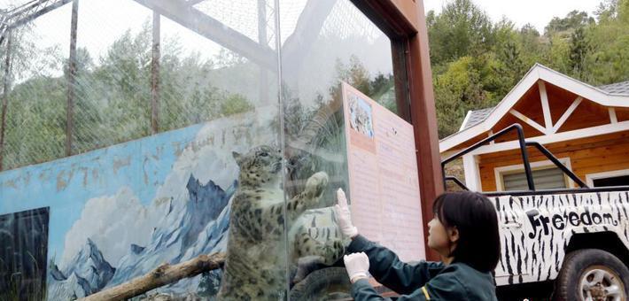 青藏高原野生动物园雪豹女饲养员