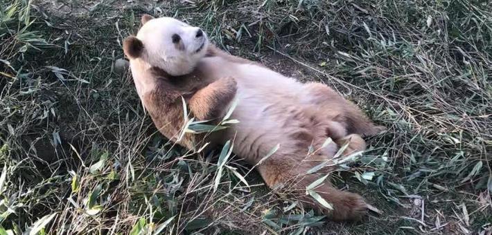 """全球唯一圈养棕色大熊猫""""七仔"""""""
