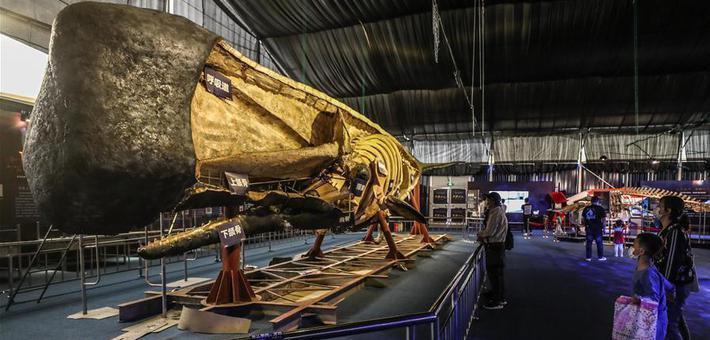 抹香鲸塑化标本制作历时4余年