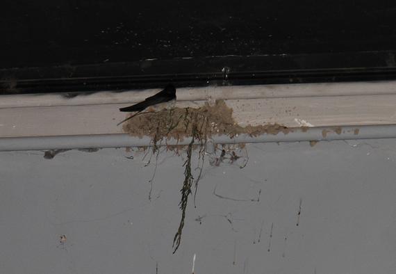 在鸟巢中筑巢的燕儿
