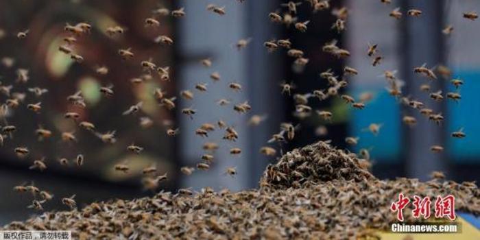 """研究人員稱蜜蜂會""""數數"""" 壓力越大表現越好"""
