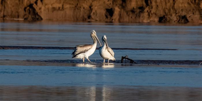 """宁夏今年首次记录国家二级保护鸟类""""卷羽鹈鹕"""""""