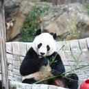 """大熊貓""""貝貝""""回國:美國粉絲不捨,中國網友操碎心!"""