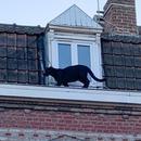 一黑豹徘徊小鎮屋頂嚇壞民衆 警方將其抓獲(圖)