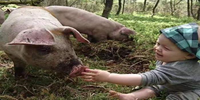 """猪肉也想来华?挪威望在中国复制""""三文鱼经验"""""""