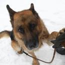 再也不怕高分貝噪聲!美公司研發新技術保護軍犬聽力